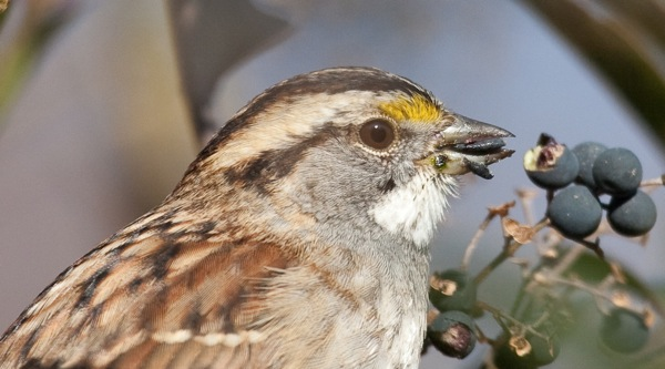 Sparrow.Eating